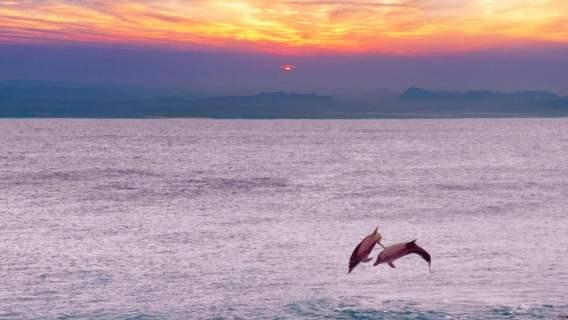 Delfiny wracają do dawno nie odwiedzanych siedlisk