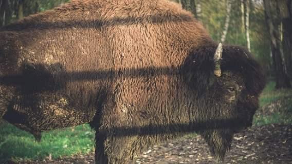 Leśnicy doliczyli się w Bieszczadach o 117 żubrów więcej niż rok temu