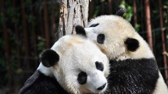 Pandy wielkie od lat są zagrożonym gatunkiem