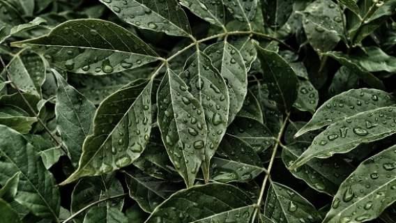 Roślinne lekarstwo na kaca jest możliwe?
