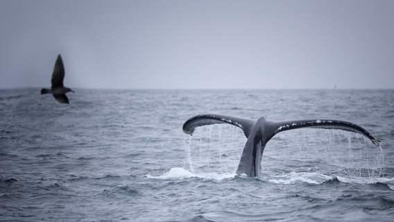 Wieloryb ogromnych rozmiarów wyskoczył z wody