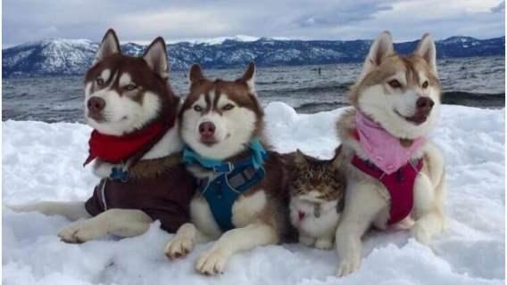 Husky uratowały i wychowały kota. Teraz myśli, że jest dużym i dzielnym psem