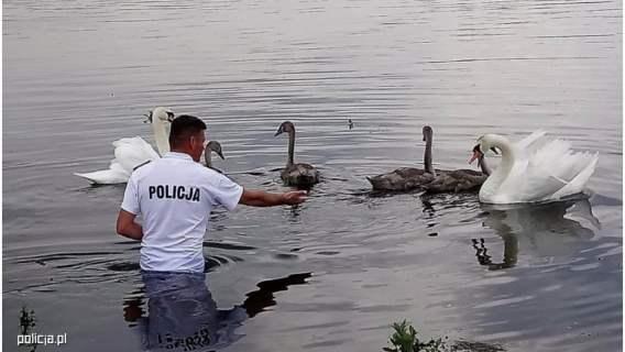 Łabędź został uratowany przez policjantów.