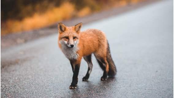 Lis-złodziej kradł buty mieszkańcom Berlina.