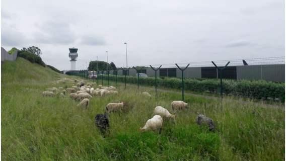 Owce zamiast kosiarek na lotnisku w Belgii.