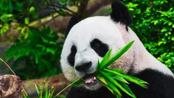 Panda Ai Bao właśnie urodziła młode