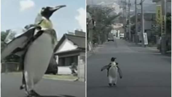 Pingwin Lala maszeruje po miasteczku
