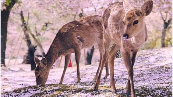Jelenie w japońskim parku Nara, wśród kwiatów wiśni