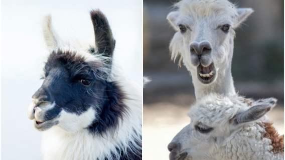 Lama może pomóc w zwalczeniu koronawirusa.