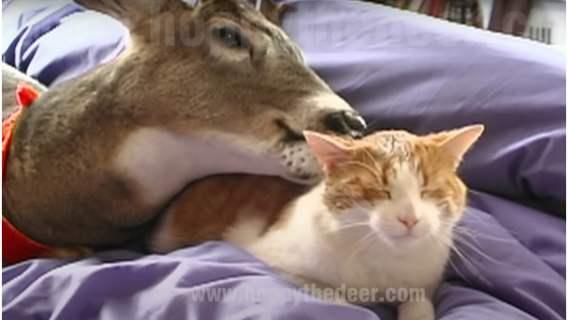 Jeleń zaprzyjaźnił się z kotem.