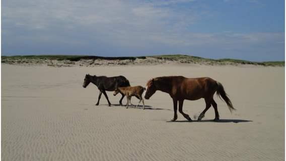 Konie na Sable Island