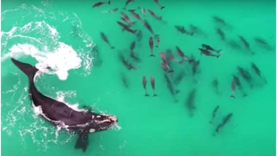 Wieloryb bawiący się z delfinami w oceanie.