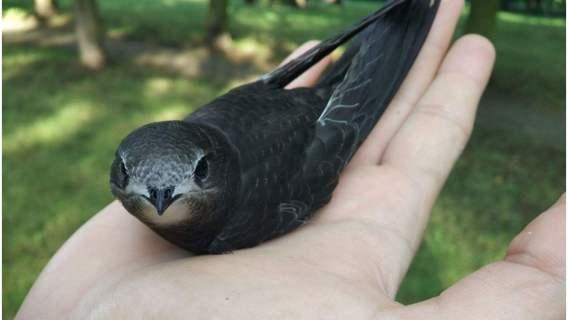Ptaki zwane jerzykami wylatują z gniazd