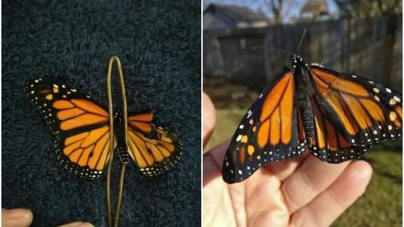 Motyl stracił fragment skrzydła