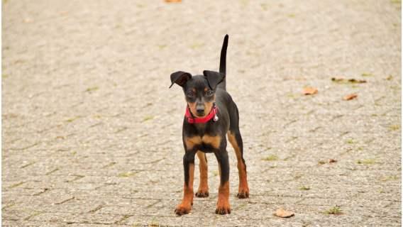 Pies pełnił funkcję kuriera podczas kwarantanny