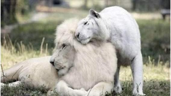 Lew i tygrysica założyły niezwykłą rodzinę