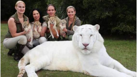 Biały lew i biała tygrysica