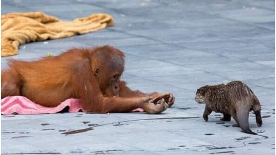 Orangutany zaprzyjaźniły się z wydrami