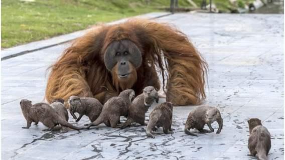 Orangutany z wydrami