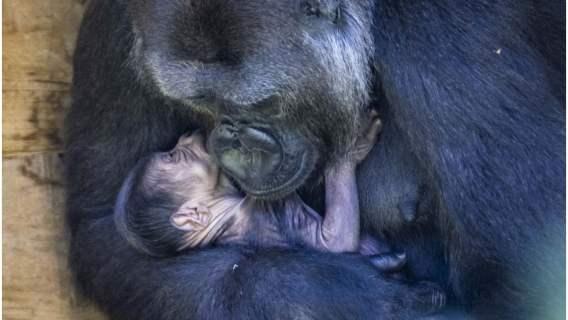 Najmłodszy goryl świata