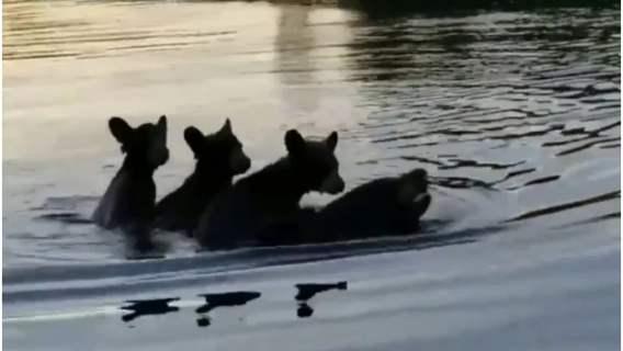 Niedźwiedzia mama płynie ze swoimi młodymi