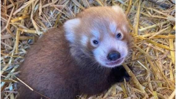 Narodziła się nowa czerwona panda