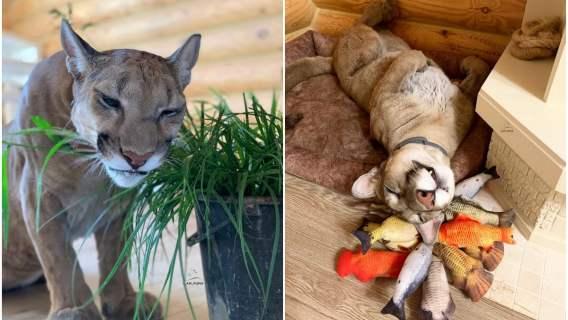 Puma w końcu znalazła kochający dom
