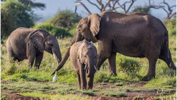 Liczba słoni w Kenii dwukrotnie wzrosła