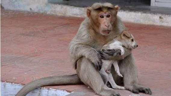 Małpa zaadoptowała szczeniaka