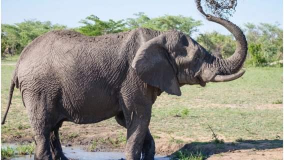 Ziewające słonie