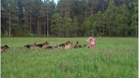 Dziewczynka bawi się ze swoją gromadą owczarków niemieckich