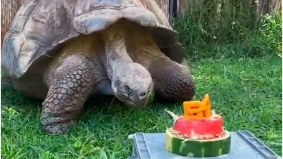 Żółw dostał na urodziny tort
