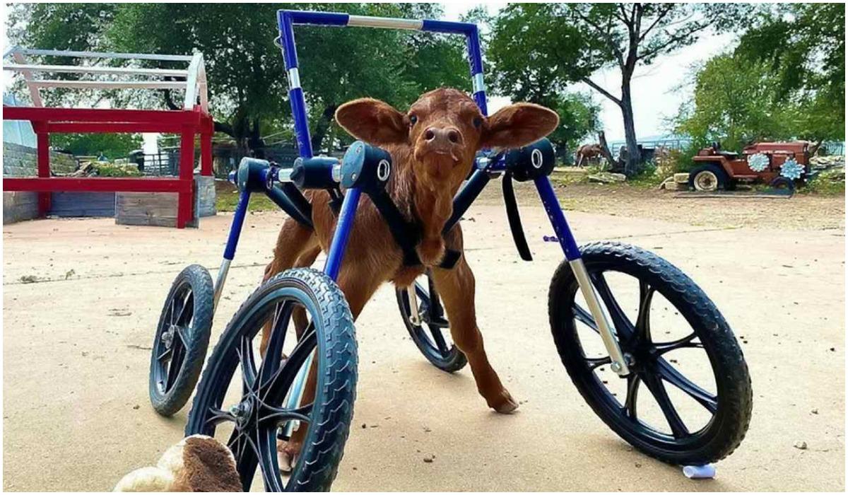 Krowa stanęła na nogi