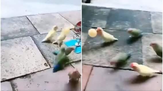 Papugi grają w koszykówkę