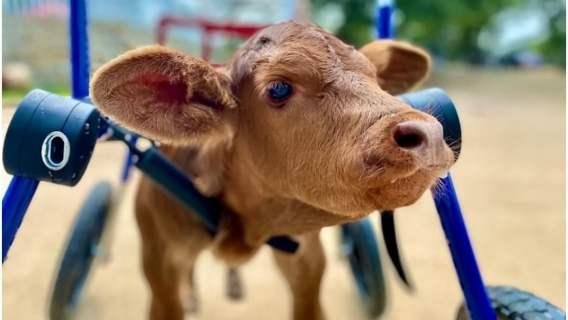 Krowa stanęła na nogi po raz pierwszy od swoich narodzin