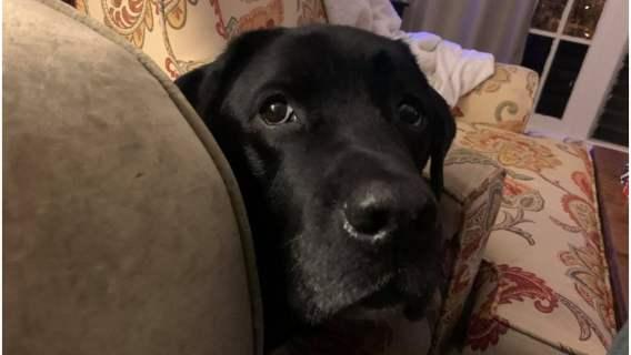 Labrador uratował życie małemu chłopcu