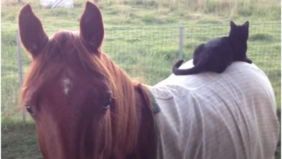 Koń zorientował się, że kot wskoczył mu na grzbiet. Jego reakcja jest fenomenalna, nie będziesz mógł powstrzymać śmiechu
