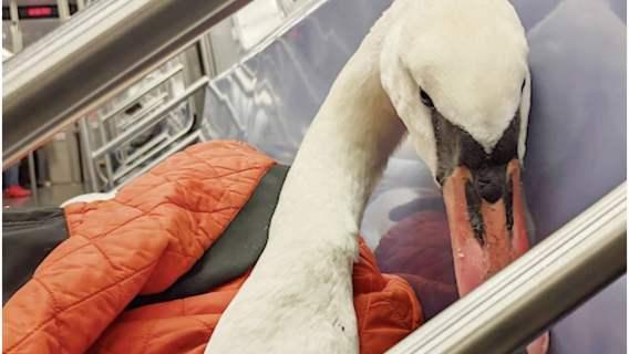 Łabędź przejechał się metrem z kobietą, która go uratowała