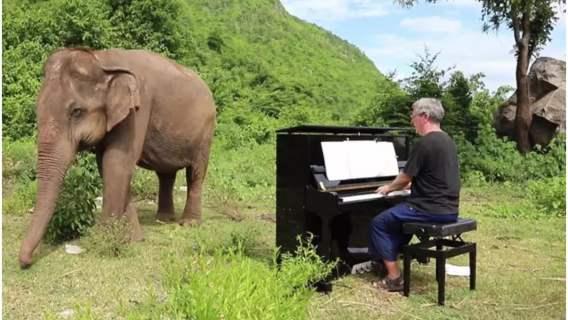 Zagrał na pianinie dla niewidomego słonia. Nagrano zdumiewającą reakcję zwierzęcia, internauci są zachwyceni