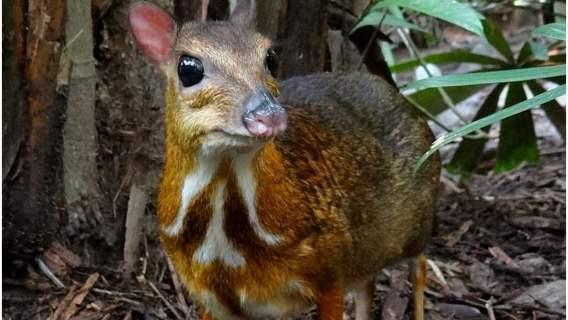 W warszawskim zoo zamieszkał myszojeleń. Przypomina jelenia, ale ma kończyny o średnicy ołówka