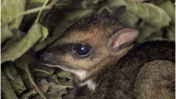 Myszojeleń narodził się w zoo we Wrocławiu