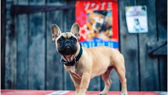 Pies Wilbur - dog francuski, który został burmistrzem