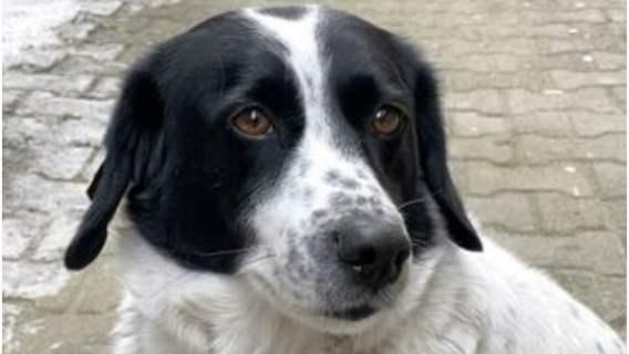 Niezwykły pies każdego dnia ryzykuje, by chronić niewinne dzieci. Łaciaty czworonóg został miejskim bohaterem