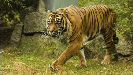 Tygrysy z Zoo w Poznaniu czeka spore wyzwanie
