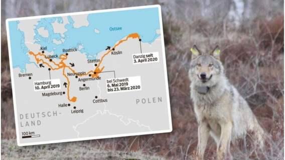 Wilk Gustaw pokonał 10 tysięcy kilometrów